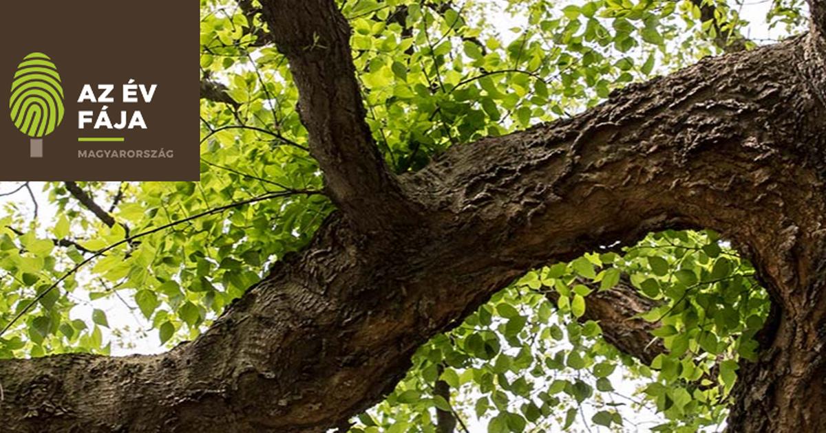 Szavazzunk egy környékbeli fára, a surányi Napsugár tér juharára!