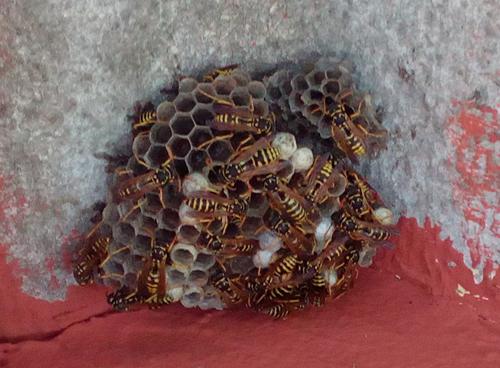 Végzetes kimenetelű is lehet a méh- vagy darázscsípés!
