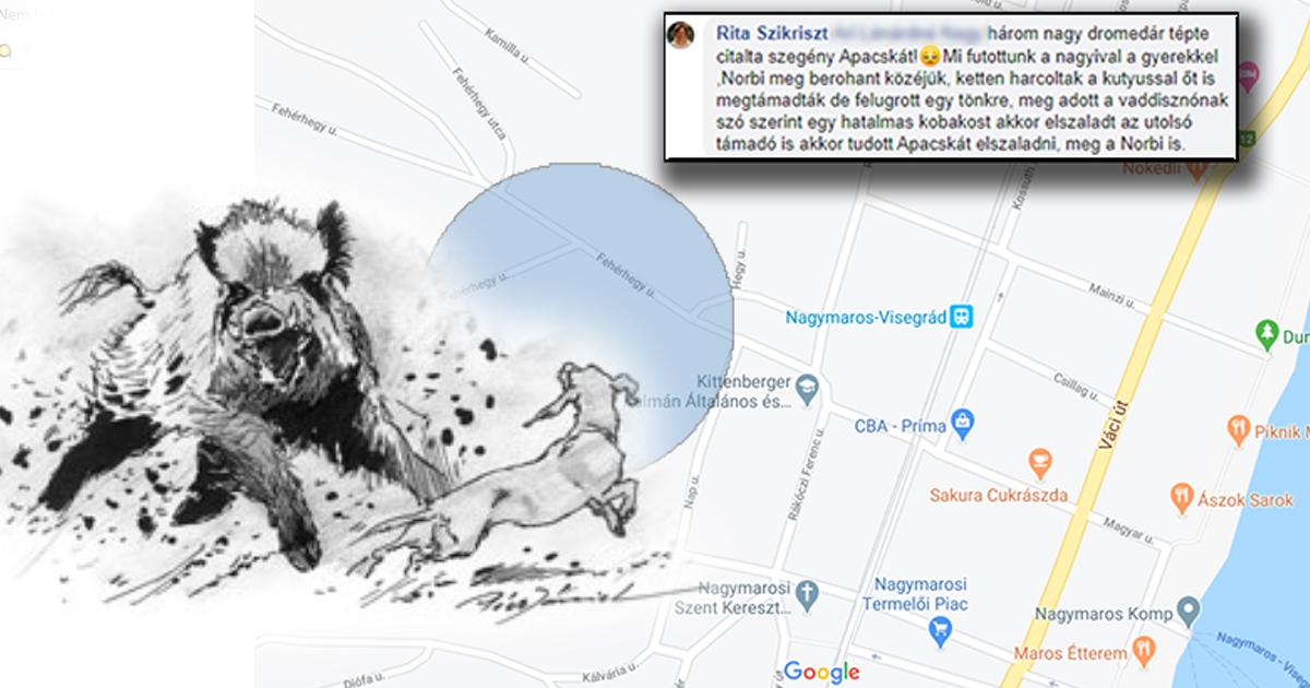 Vaddisznótámadás fényes nappal, Nagymaros belvárosának közelében